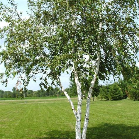 Bare Root Silver Birch Trees For Sale Online in Ireland