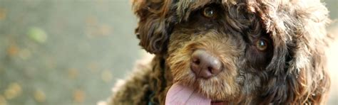 These Low Shedding Dog Breeds Lose Far Less Hair Than Most