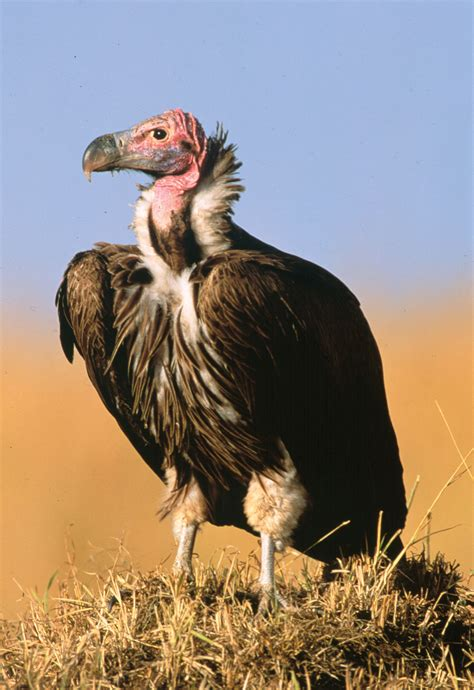 Lappet-faced Vulture | Animal Database | FANDOM powered by