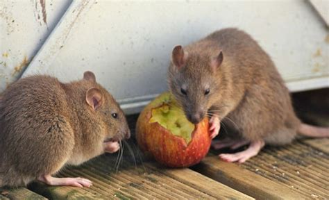 How Rats Manage to Outwit Us…Sometimes - Colonial Pest Control