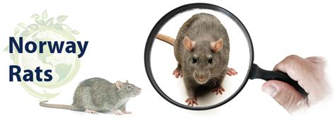 How to Get Rid of Norway Rats - Classic Pest Control