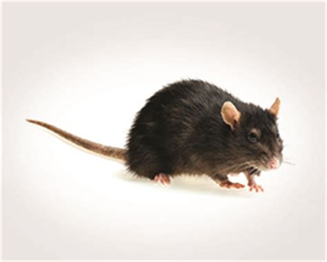 How to Get Rid of Norway Rats, Identify a Rat Infestation