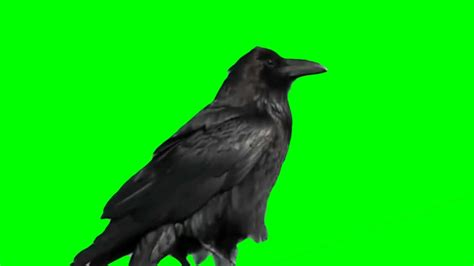 Real Raven Green & Blue Screen Effect - YouTube