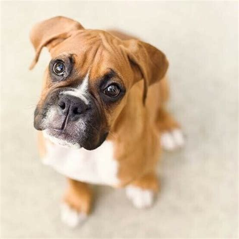 Boxer dog puppies available   2 months old in COLLIE, WA 6225