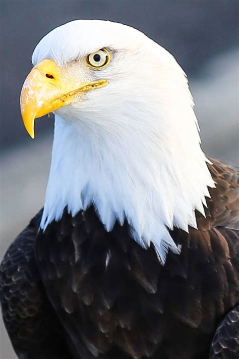 American Bald Eagle – Conservation Connect