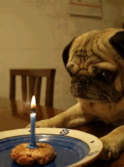 Pug Animated Gif Pictures - Best Animations